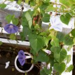 Still have 37 morning glories open every morning morningglories flowershellip